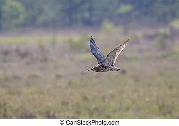 Eurasian curlew Numenius arquata in flight