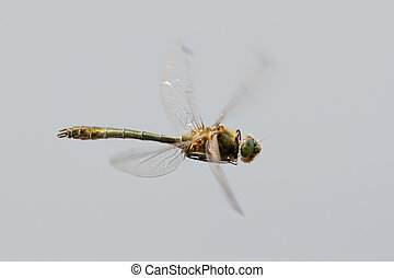 Downy Emerald Cordulia aenea in flight