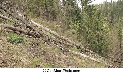 chop wood Chainsaw in a forest