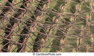 Cactus - Barrel Cactus, Close up