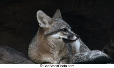 Gray Fox - Yawning gray fox
