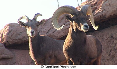 Bighorn Sheep - Ram and doe Bighorn Sheep
