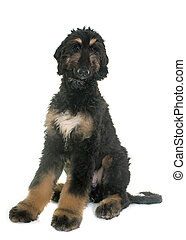 puppy afghan hound in front of white background