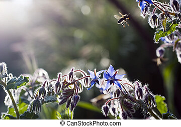 pollination - bee and borage in back light