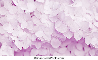 beautiful hydrangea floral background in viola colors