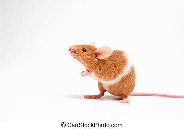 Sweet funny mouse - Lovely baby mouse on white background...