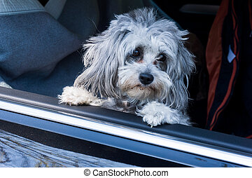 dog sits in the car and looking out the window