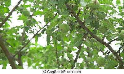 Tree with young green small apples in full HD