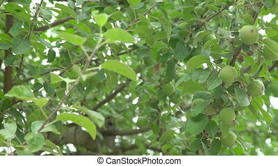 Apple tree with small green fruit in full HD