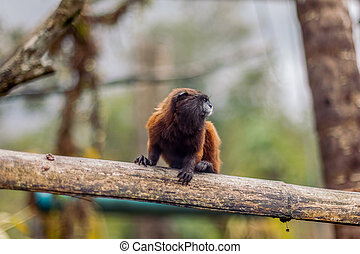 Goeldi Marmoset Or Goeldi Monkey Sitting On A Tree Stump,...