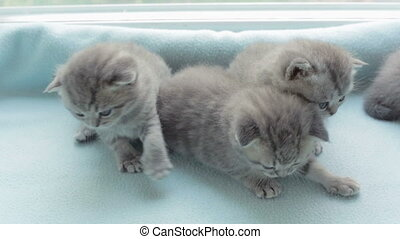 Blotched tabby kittens breed Scottish Fold - Funny Blotched...