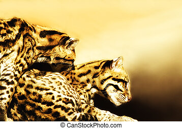Ocelot couple Leoparus pardalis shortly bevor mating