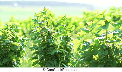 Currant bush moving with wind in full HD