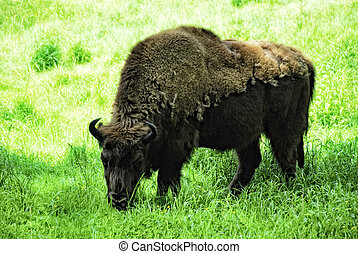 Wisent Bison bonasus - european Wisent Bison bonasus on a...