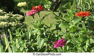 Closeup of colorful zinnia violacea flower blooms move in...