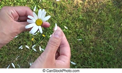 girl hand divine future of daisy petals on grass background....