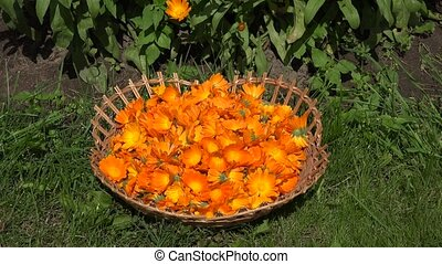 Marigold herb blooms in wicker dish and calendula herbal...