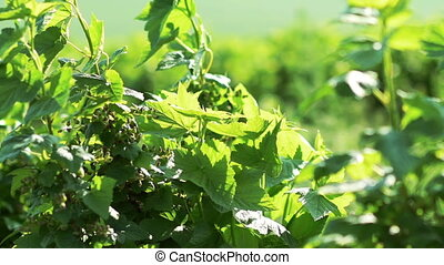 Close up of currant bush, berries moving with wind. Slow...