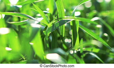 Green wheat background, waves moved by summer wind nature....
