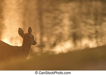 wild deer with sunset, Khao Yai