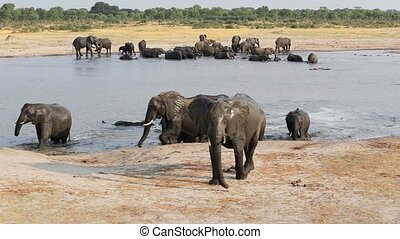 Herd of African elephants at waterhole in national park...