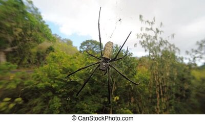Nephila pilipes, big spider, Bali, - Close up of golden orb...