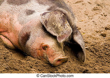 female hog Sus scrofa domestica sleeping in the dirt