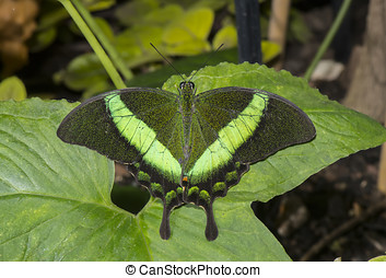 Emerald Swallowtail Butterfly on a leaf