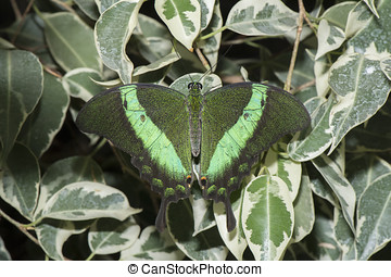 Emerald Swallowtail Butterfly on a plant