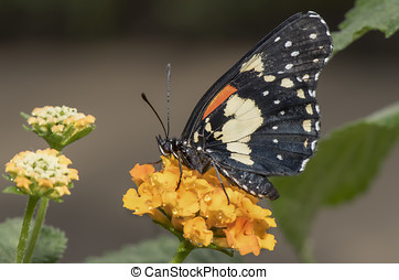 Gaudy Patch Butterfly on a flower
