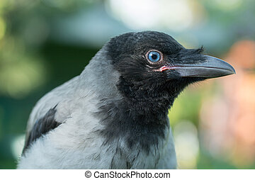 Portrait of a gray crow.