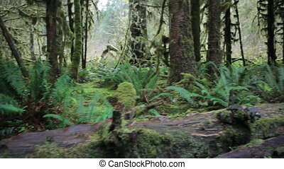 Hall of Mosses - Hoh Rain Forest, Hall of Mosses,...