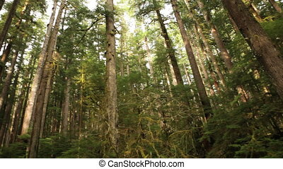 Rainforest - Hoh Rain Forest, Washington, Pan
