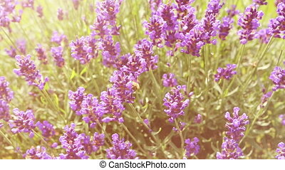 Bee on a lilac lavender. working bee for honey. color edit.