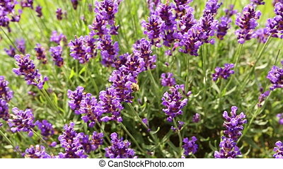 Bee on a lilac lavender. working bee for honey. summerfeeling