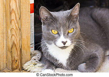 Yellow eyed grey cat portrait