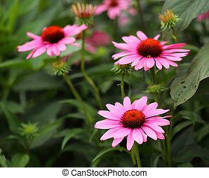 Osteospermum Flower Daisy in garden