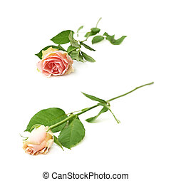 Single white rose isolated over the white background, set of...