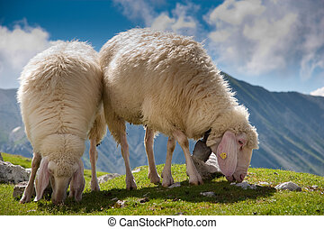 beautiful couple of sheep grazing - two sheeps browsing...
