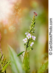 Purple Loosestrife Beetle on a Water Speedwell Flower -...