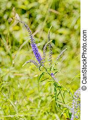Pseudolysimachion, Longifolium, (Veronica, Longifolia),