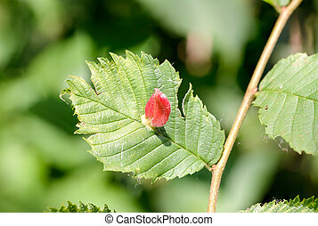 Tetraneura Caerulescens on an Elm - Gall caused by the...