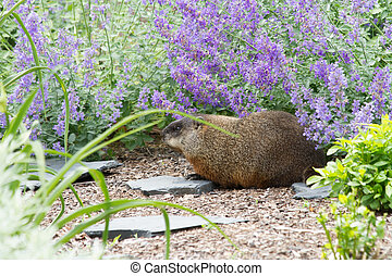 Woodchuck in Flower garden - Woodchuck visiting the catmint...