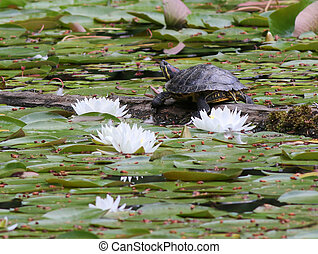 Red-eared Slider Turtle with Water Lilies