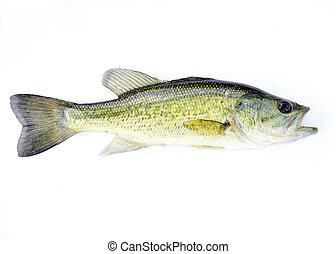 Fingerling Largemouth Bass - A young fingerling fresh water...