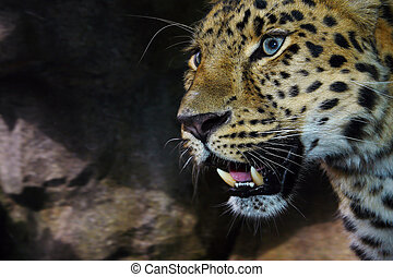 Amur Leopard on the prowl - Close up of an Amur Leopard on...