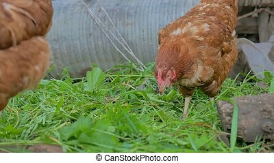 chicken goes ginger looking for food summer farming Poultry...