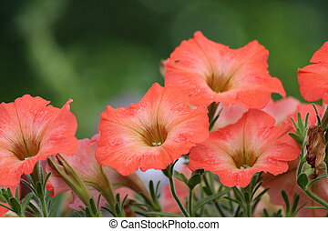 Salmon Pink Petunias, England. - Unusually shaded Petunia...