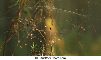 Spider webs on pine trees covered in dew during a summer...