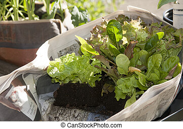 fresh lettuce in olde newspaper - fresh lettuce fot planting...